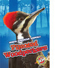 Cover: Pileated Woodpeckers